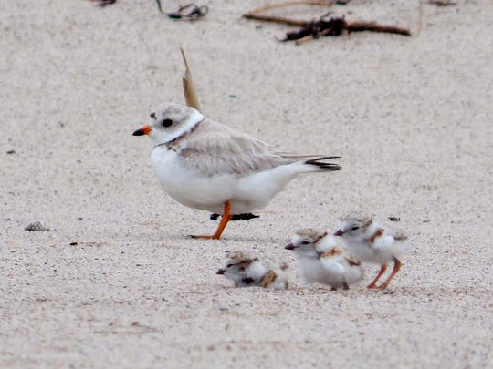 A family of piping plovers at Rachel Carson National Wildlife Refuge in Maine.