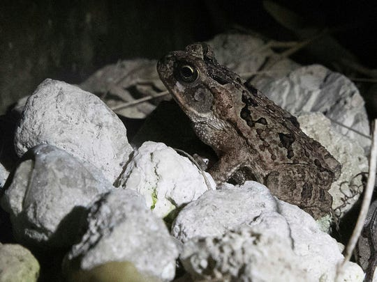 A juvenile bufo/cane toad sits in Sarah Hulke-Ehorn's south Fort Myers yard on Thursday 7/13/2017. She tried to capture the exotic poisonous frog but it got it away.