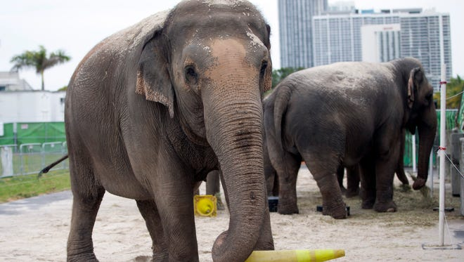 An Asian elephant belonging to Ringling Bros. and Barnum & Bailey Circus plays with a yellow traffic cone in her enclosure outside the American Airlines Arena in Miami Jan. 8. Ringling Bros. will retire all of its touring elephants in May.