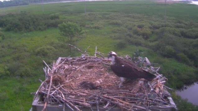 Osprey chick, Solstice, eats while her mother looks on in their nest at Woodland Dunes in Two Rivers.
