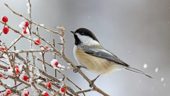 A black capped chickadee perches on winter berries. The habitat around your home — fields, woods, water  — is the biggest factor in determining what kinds of birds you will see.