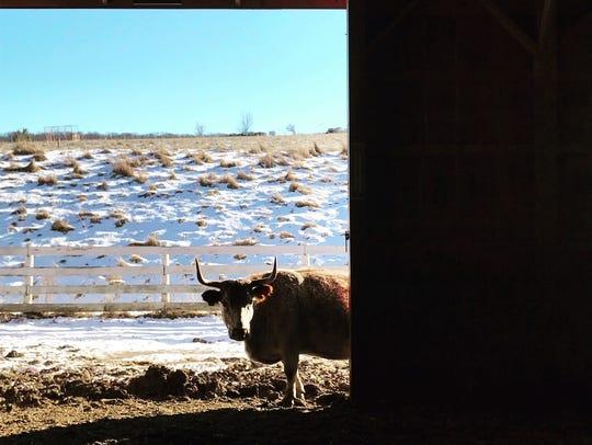 One of Glynwood's residents peeks inside the barn on