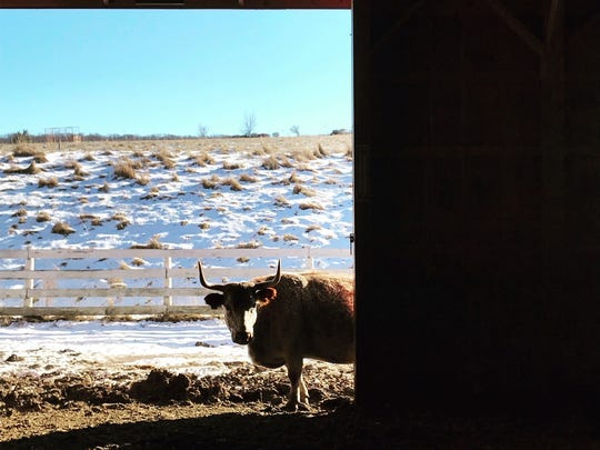 One of Glynwood's residents peeks inside the barn on December 28, 2017.