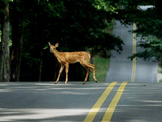 A fawn crosses Page Road in Belle Meade right behind its mother, joining a group of deer that were journeying into Percy Warner Park at midday Aug. 12, 2002.