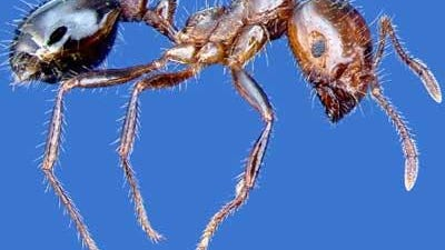 A red imported fire ant worker