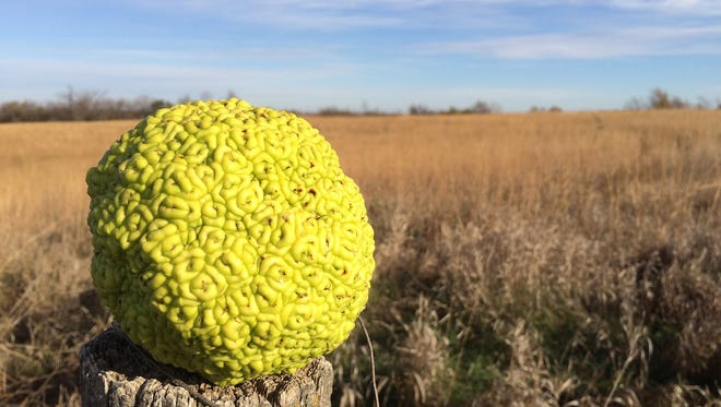The Osage orange is related to mulberry trees. The fruit's texture resembles that of a large mulberry, it is heavy and only the seeds are edible.