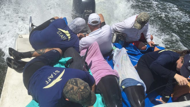 In this photo provided by the Florida Keys News Bureau, staff of the Dolphins Plus Marine Mammal Responder team transport four spinner dolphins that were rescued Saturday, Sept. 3, 2016, after stranding off a small island about 20 miles north of Islamorada, Fla., in Florida Bay off the Florida Keys. Normally a deepwater species, a DPMMC official believes it is possible that Hurricane Hermine, when it was over the Gulf of Mexico, could have pushed the dolphins to shallow waters. The dolphins are being evaluated for possible transport to Sea World in Orlando for further treatment.