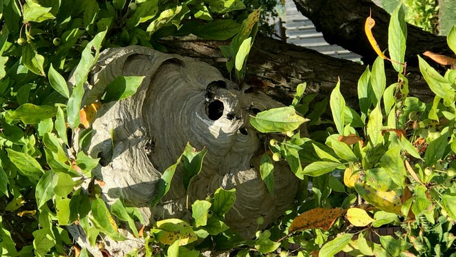 Hornets construct large closed nests that often hang from trees.