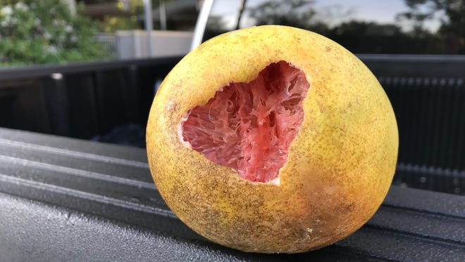 Fresh damage done by birds pecking into the fruit, just the physical vibration of their pecking could also knock the ripe fruit loose