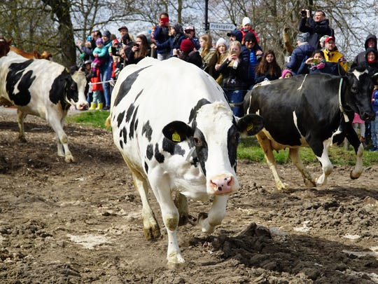 Dairy cows are released into open fields for the lush summer pastures, freed from the stables which have been their homes for the long winter months, in Drottningholm, Sweden, on April 29, 2017.