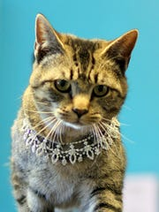 "Audrey the cat slinks around the Deming Animal Shelter all dressed up and nowhere to go. Her sparkling jewels is characteristic of Audrey Hepburn's character Holly Golightly from the classic motion picture ""Breakfast at Tiffany's."