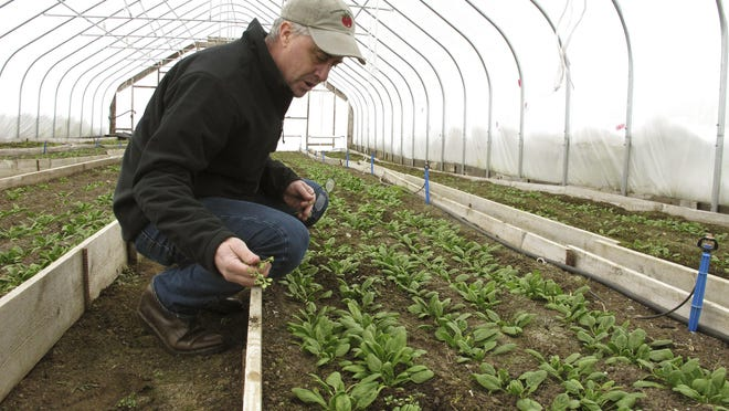 Farmer Joe Buley pulls a weed from a bed of spinach growing in a high tunnel greenhouse at Screamin' Ridge Farm in Montpelier.