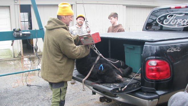 Greg Honachefsky, a biologist with the state Division of Fish and Wildlife, weighs a bear brought to the check station at the Whittingham Wildlife Management Area in Fredon during last year's bow hunt.