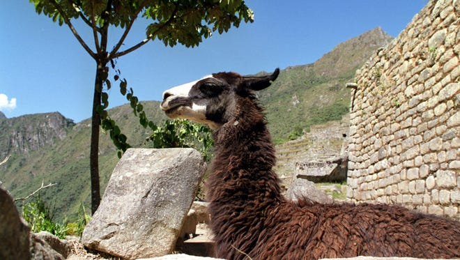A llama waits for a selfie opportunity at the Machu Picchu ruins in Peru on May 25, 2000.