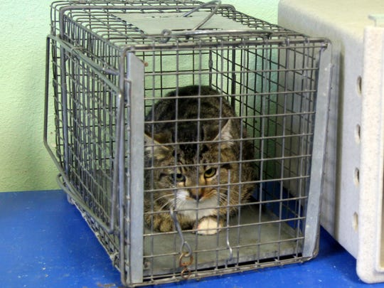 A trapped cat waits in the intake room at Noah's Ark Animal Shelter