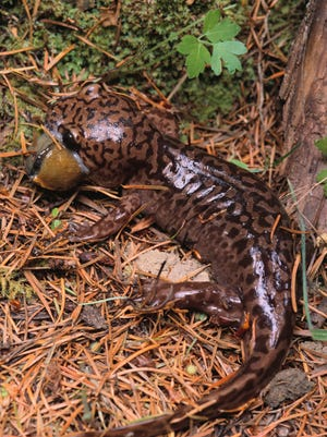 Idaho lawmakers rejected a grade school student's request to name the Idaho giant salamander the state amphibian.