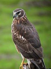 Northern Harrierjpg