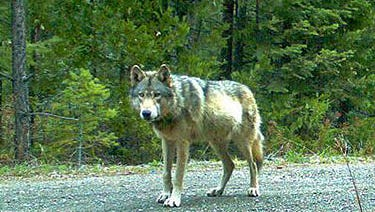 """The male wolf known as """"OR7"""" was born into the Imnaha pack in northeastern Oregon in spring 2009."""
