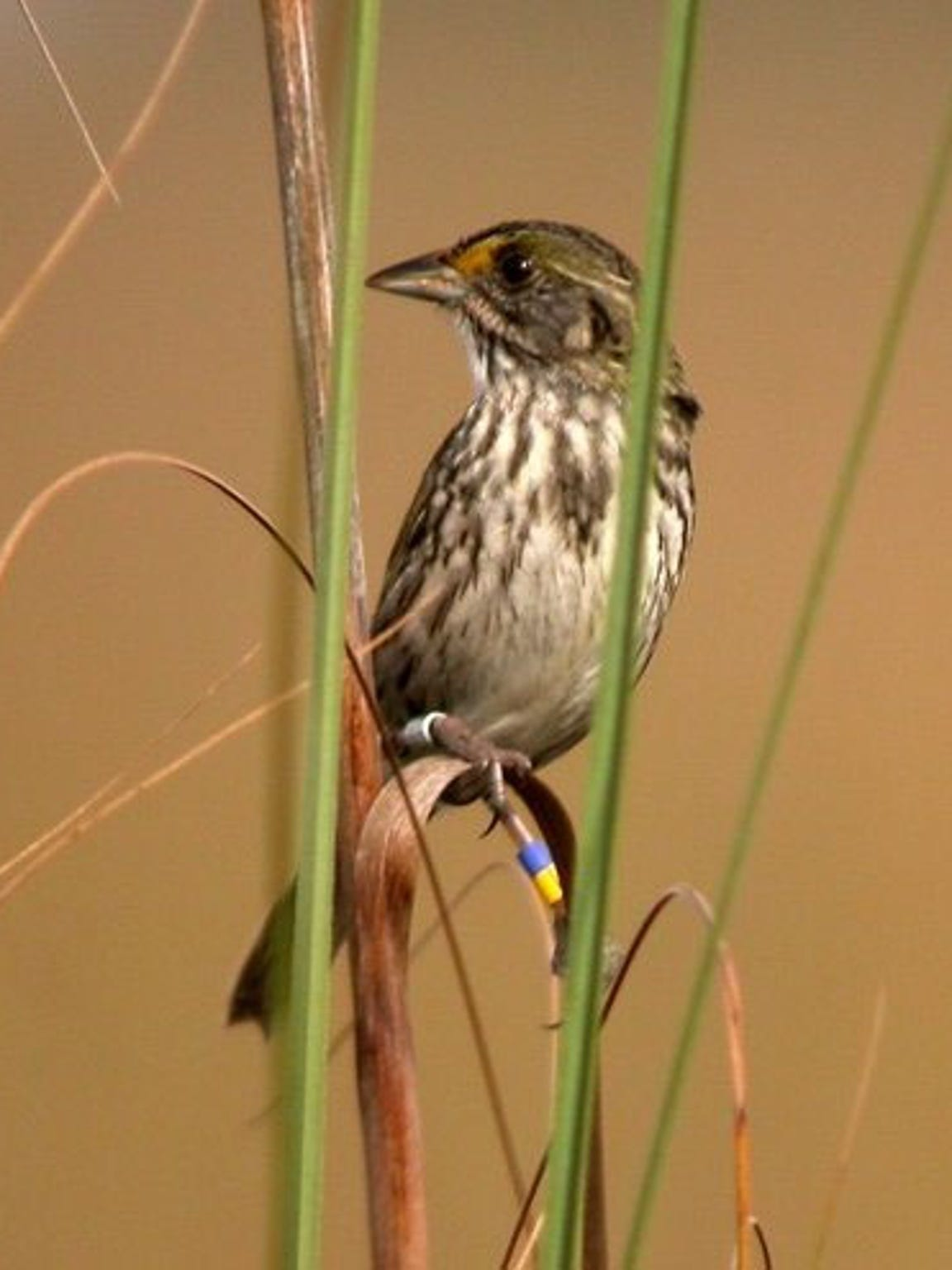 A Cape Sable seaside sparrow perches in its native range.