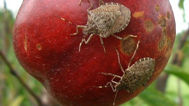 Stink bugs feed on a nectarine. The brown spots show previous places where the hungry bugs have injured the fruit.