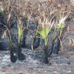The aftermath of a controlled burn on palms and underbrush.