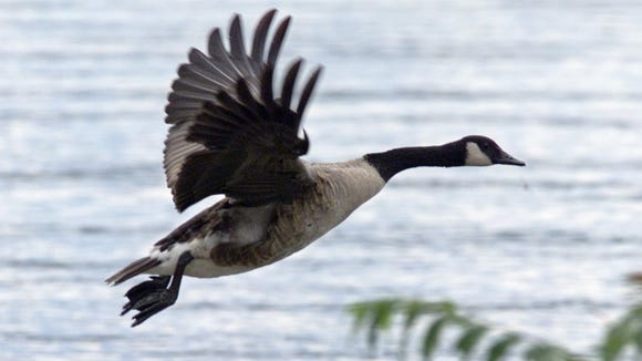 The early resident Canada goose hunting season opens Tuesday in both New York and Pennsylvania.