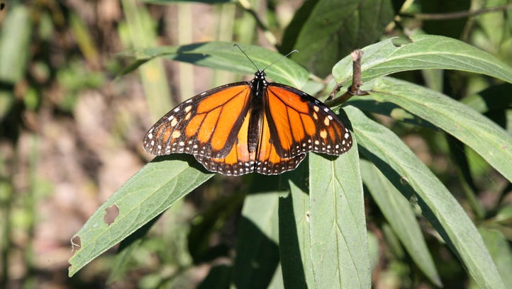 Iconic but depleted monarchs make a comeback, at least for a summer
