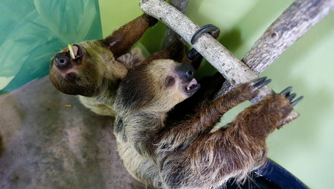 Two-toed sloths hang on a ladder in an enclosure at the Promised Land Zoo in Branson on Tuesday. The zoo opened a new attraction, its Animal Adventure Building, with more than 30 indoor exhibits including touch tanks and a room for up-close encounters with sloths.