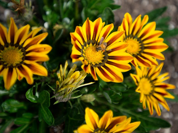 A bee collects pollen from Gazania flowers at Colorado State University's Annual Flower Trial Garden Monday, August 4, 2014. Judges look for overall growth, bloom and other factors for the best-performing flowers in about 1,100 varieties of annuals and perennials.