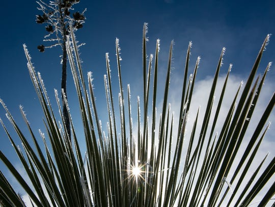Frost adds sparkle to the tips of a yucca Monday on