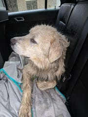 Dakota, wet and injured, rests in Phil Holderman's patrol car May 29 after the deputy and Tina Kuetemeyer rescued the animal on U.S. 70.