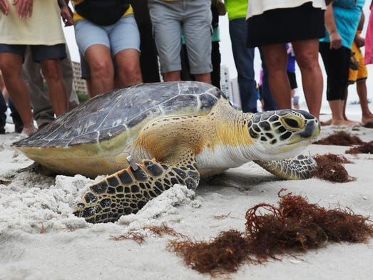 A female green sea turtle was released back to the