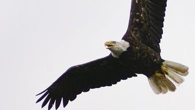 The U.S. Fish and Wildlife Service is offering a reward for information on a shooting that led to a bald eagle's death.