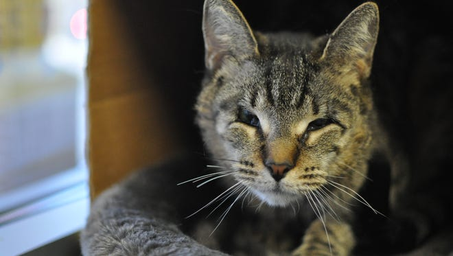Tigger Louise the cat is thankful for the gift of sight, after a surgery to fix her misshapen eyelids, and loves to be petted.