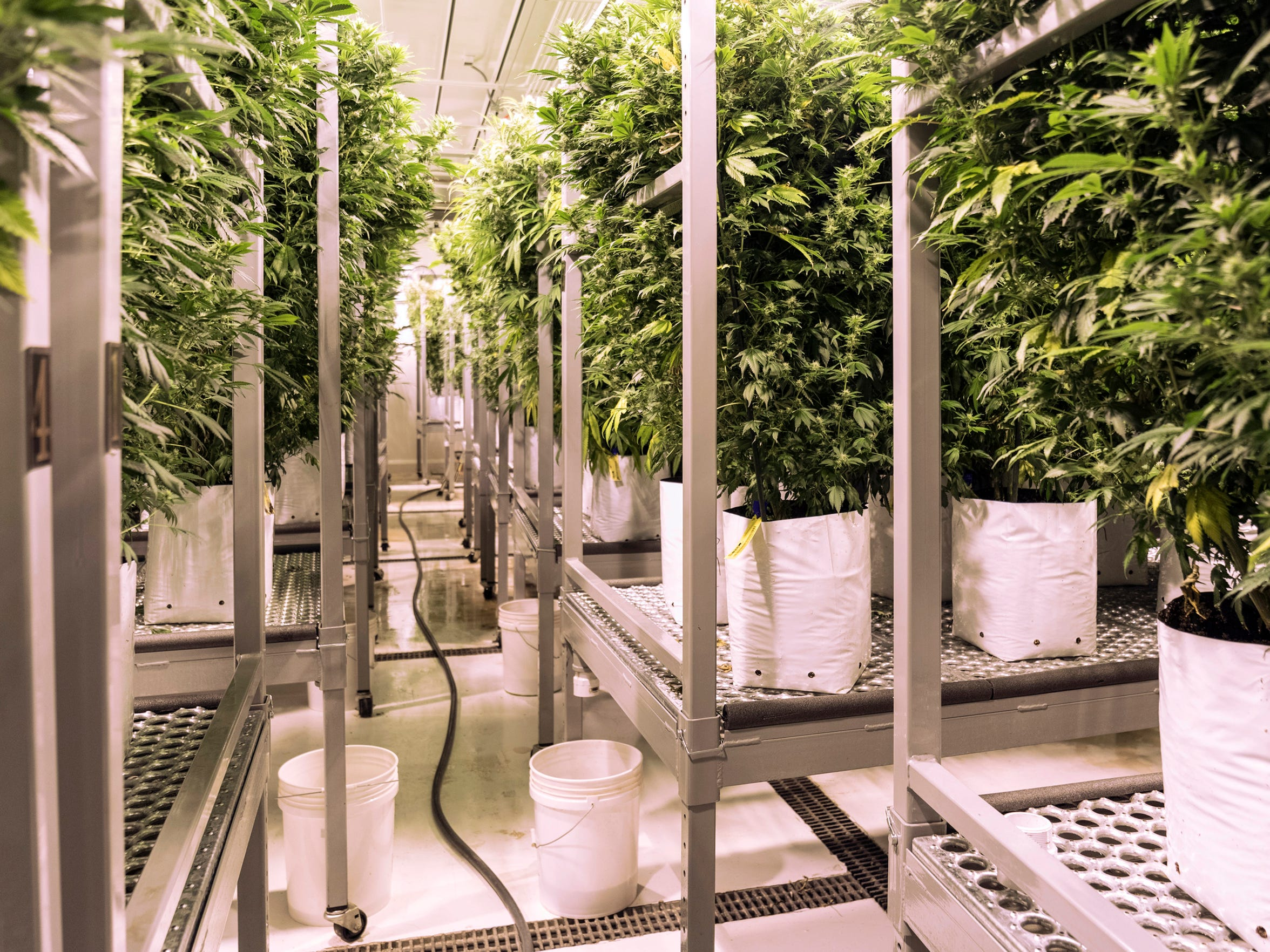 Cannabis plants are grown for research at the MedPharm in Denver, Colo., Wednesday, June 20, 2018.
