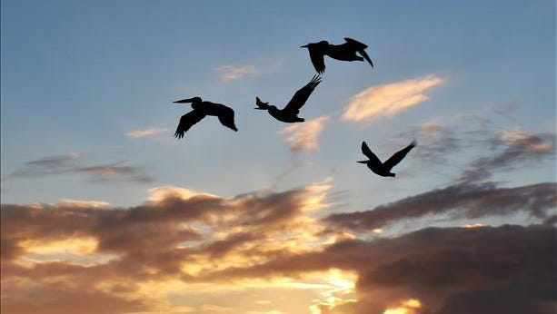 Pelicans fly over the Indian River Lagoon at sunrise in Indian River County. Reader-submitted photo