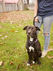Misfit, a labrador-pit bull mix is a sweet pooch available for  adoption at the Humane Society of Lebanon County, according to rescue coordinator Sam Heiser.