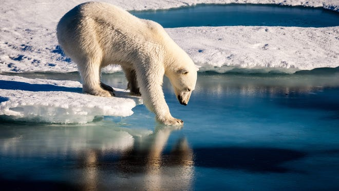 A polar bear tests the strength of thin sea ice in the Arctic in 2015. Arctic sea ice this winter shrank to its second-lowest level on record, scientists announced.