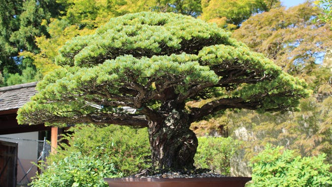 The bonsai tree, now located at the National Arboretum in Washington, D.C., survived the Hiroshima bombing on Aug. 6, 1945.