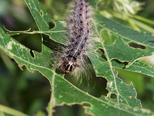 Gypsy Moth catepillar