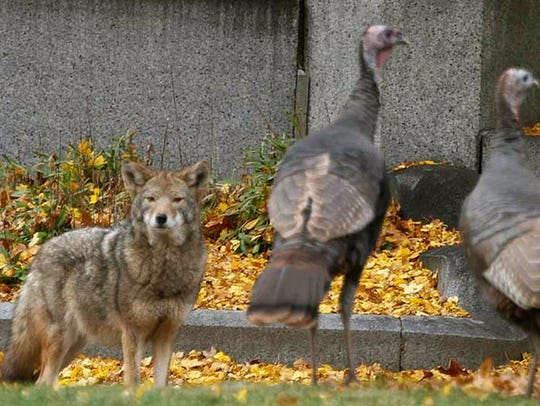 A coyote stares down wild turkeys in Mount Auburn Cemetery in Cambridge, Mass.