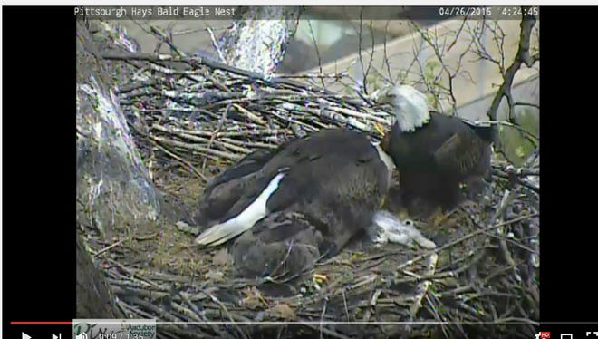 A live bald eagle cam of a nest in Pittsburgh caught some eye-raising activity on Tuesday when an Eagle brought her eaglets a cat home for lunch.