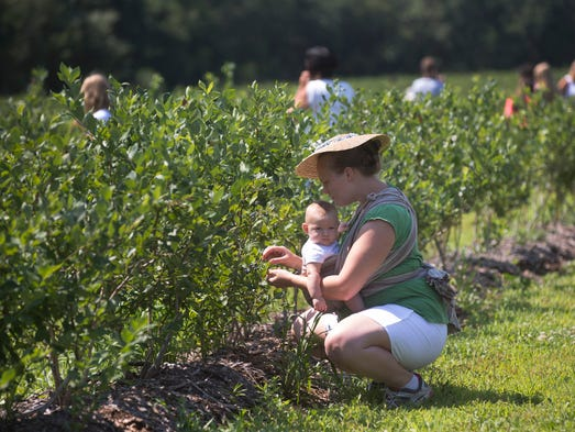 Jackie Jacobs of Richboro Pa, is absorbed in her berry picking and her five month old daughter Emily is content in her sling as they work the berry field at Emery's Berry Farm. Pick-It-Yourself Farms in Plumsted,  NJ on July 11, 2013. Photo by Peter Ackerman