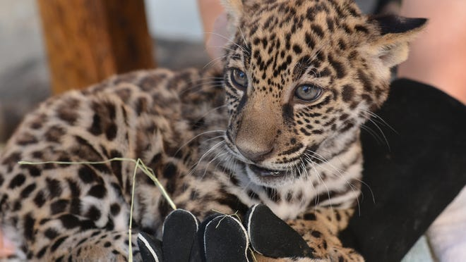 The first medical exam of the two jaguar cubs born to breeding pair Magia and Memo at The Living Desert zoo in April are both healthy males, according to a report from the zoo's lead veterinarian.