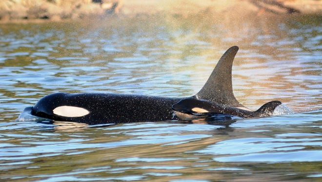 In this Tuesday, Dec. 30, 2014 photo provided by the Center for Whale Research, a new baby orca whale swims alongside its mother near Vancouver Island in the Canadian Gulf Islands of British Columbia. The newborn is being called J-50. With the new addition, there are now 78 of the endangered whales in the waters of British Columbia and Washington state.