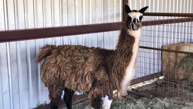 A lost llama was listed for $50 at the City of San Angelo Animal Shelter after the llama's missing owners failed to claim it by Tuesday, May 29, 2018.