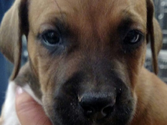 This brown Hound dog mix puppy was found in Animal Control's outside lockup. For more information about adopting a Pet of the Week or other furry friends visit Alamogordo Animal Control, 2910 N. Florida Ave., Monday through Saturday between noon and 5 p.m. or contact them at 439-4330.