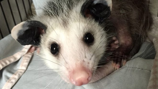 An orphaned opossum being raised at St. Francis Wildlife.