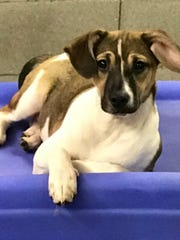 Applejacks is a 5- to 6-month-old, female, Jack Russell/terrier