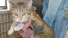 Belfast is a one-year-old female short-haired Calico. She is timid, but once you start loving on her she will oblige you. To adopt Calico visit the High Desert Humane Society at 3050 Cougar Way in Silver City or call 575-538-9261.